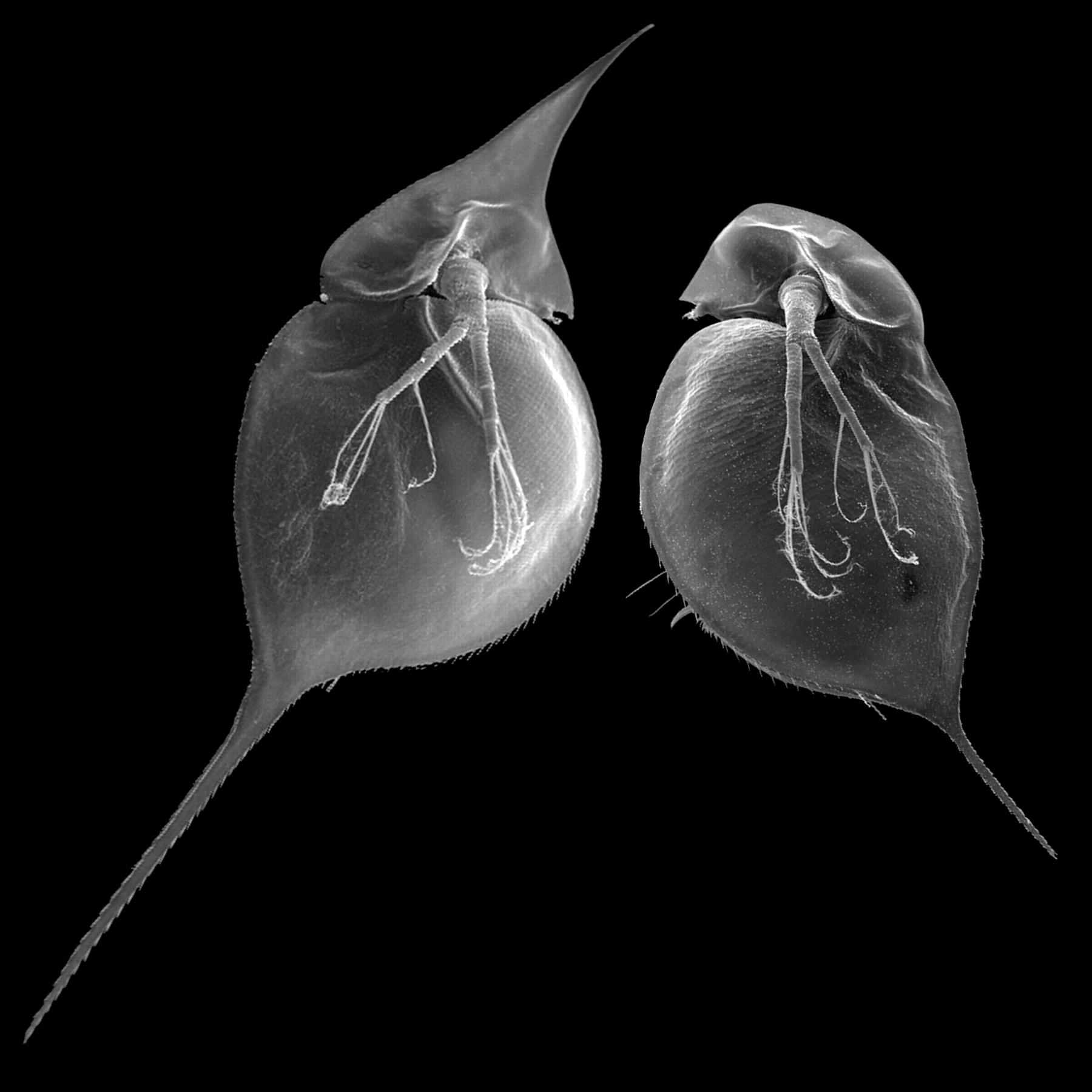 Two individuals of a single clone of the Asian and African water flea, Daphnia lumholtzi. The individual on the left was exposed to chemical cues from predaceous fish (induced); the individual on the right was not (control). The sharp helmet and extended tail spine of the induced morph protectD. lumholtzi from fish predators. The uninduced form was formerly described as a different species (D. monacha Brehm 1912). Green (83), in an accurate and prophetic study, related the occurrence of both morphs to differences in fish predation. The induction of this morphological defense has now been implicated as a key factor in the success of D. lumholtzi invading North America (84). Figure and caption from [Agrawal 2001](https://doi.org/10.1126/science.1060701).
